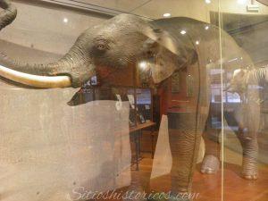 Elefante indio disecado